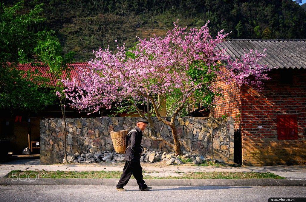 Ha Giang Apricot Flower Festival